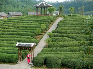 Tea-plantations-of-China3-300x224.jpg